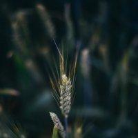 пшеничка :: Фирдавс Азизов
