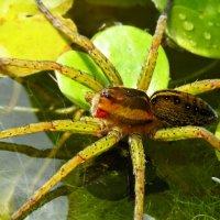Просто паук :: Людмилаfdnjgjhpnhptn