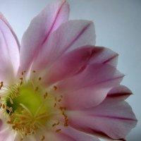 Цветок кактуса :: OLLES