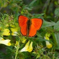 червонец на лесных цветочках :: Александр Прокудин