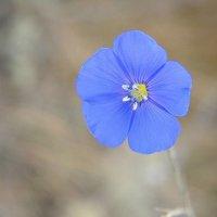 Портреты цветов... Лён... Portraits of flowers... Flax... :: Сергей Леонтьев