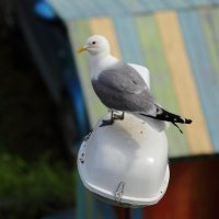 Серебристая чайка. :: Андрей Дурапов