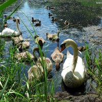 Лебеди :: Nina Yudicheva