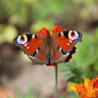 Глазастый цветок :: Ирина Котенева