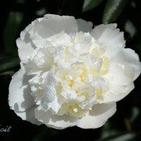 Белоснежный красавец-пион :: Тамара Бедай