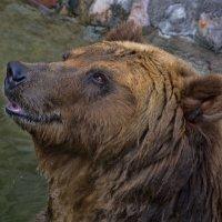 Улыбка медведя :: Виктор Филиппов