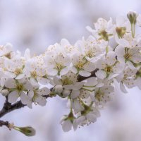 Цветущая вишня :: Татьяна Золотых