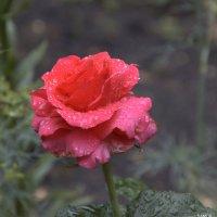 роза :: Валерий Самородов