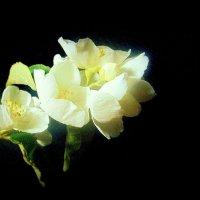 веточка жасмина . :: Любовь