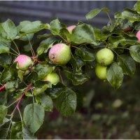 Ветка яблони :: Александр Максимов