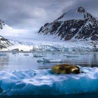 """морж отдыхает и греется на своем арктическом """"пляже"""" :: Георгий А"""