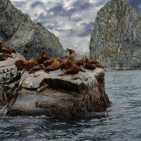 лежбище сиучей на скалах Камчатки :: IURII