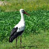 *Белый аист (лат. Ciconia ciconia) :: vodonos241