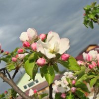 Запахи весны.Яблоня :: Лидия (naum.lidiya)