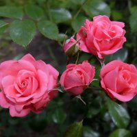 Розы алые. :: Люба