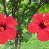 """Гибискус """"Hibiscus mutabilis"""" :: Tamara"""