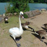 Лебедь и казарки канадские :: Nina Yudicheva