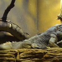 Рогатая игуана... :: Наташа *****