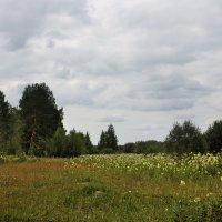 Таволга цветёт... :: Ирина Румянцева