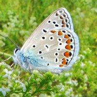 Голубянка Пилаон :: vodonos241