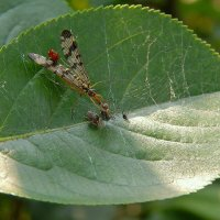 Скорпионница крадет муху у паука! ;) :: Елена (Elena Fly) Хайдукова