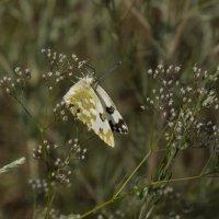 бабочка.... :: Наталья Меркулова