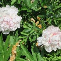 Белые цветы :: Дмитрий Никитин