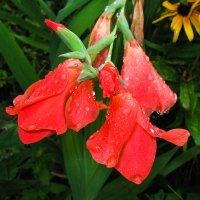 цветы IMG_0770 :: Олег Петрушин