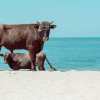 Крымские быки: полуденные процедуры. :: Анатолий Щербак