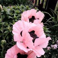 Розовые маки :: Алла ZALLA