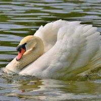 Белый лебедь :: Константин Анисимов