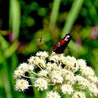 Бабочка, мотылек и цветок. :: Михаил Столяров