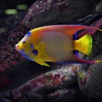 Рыба Ангел-изабелита королева :: Константин Анисимов