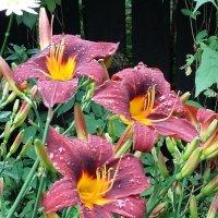 Июль-время цветения лилейников! :: ирина