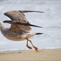 Разгон чайки :: Swetlana V