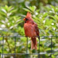 Красный кардинал :: Anatoliy Kyselyov
