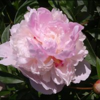 Нежно-розовый :: lady v.ekaterina