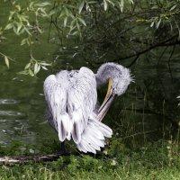 Кудрявый пеликан. :: Yuri Chudnovetz
