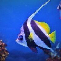 Вымпельная рыба-бабочка :: Константин Анисимов