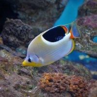 Седлоспинная рыба-бабочка :: Константин Анисимов