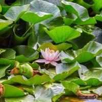 Последние лилии. Монастырское озеро :: Николай Николенко