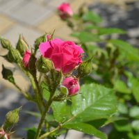 Розы :: Igor Osh