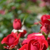 роза 5 :: Igor Osh