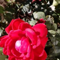 Не простая роза. :: Венера Чуйкова