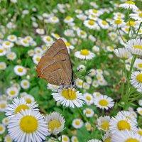 Прилетала бабочка,на ромашку села! :: Наталья