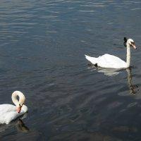 Лебединое озеро :: Ирина Коваленко