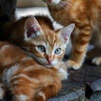 Кошки :: олег