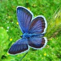 *Голубянка Икар. :: vodonos241