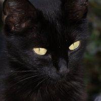 Чёрный кот :: Наталия Григорьева