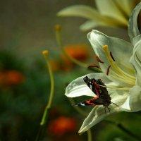 Бабочки, цветочки :: Derjavin -